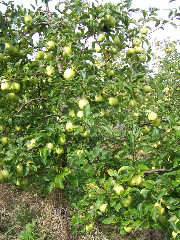 Pommesvertes.jpg